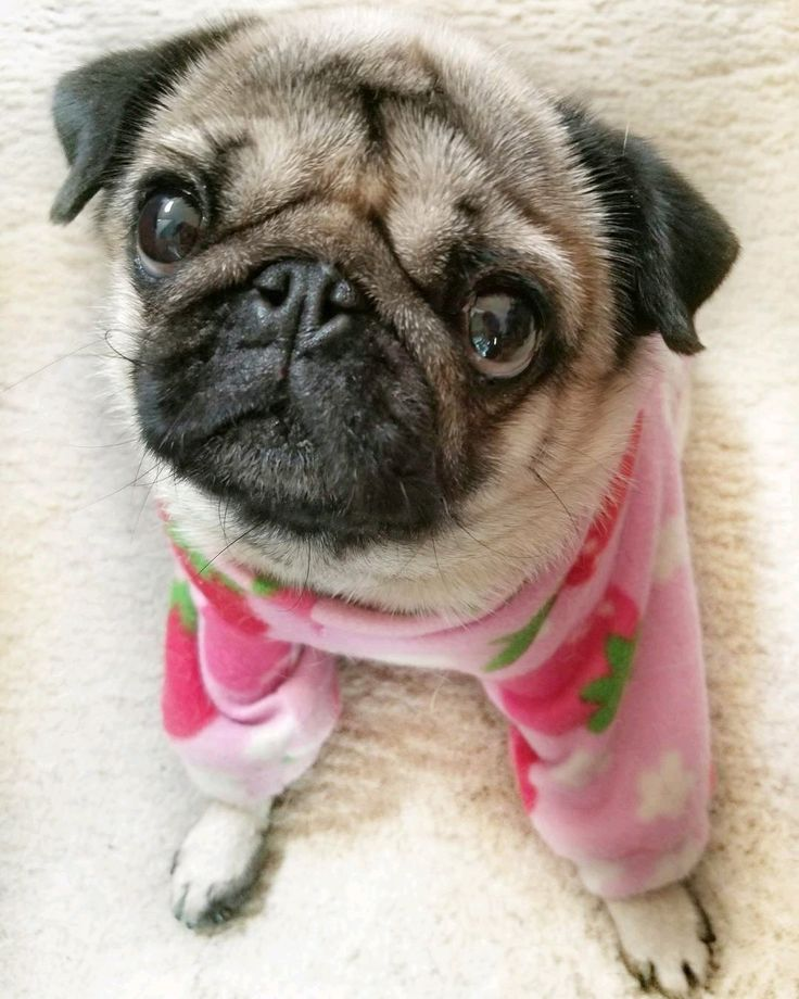Best 25+ Cute pug pictures ideas on Pinterest   Pictures ...