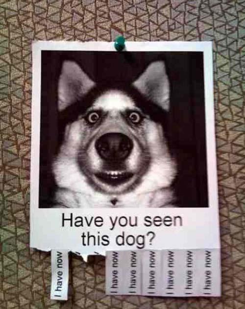 #funny #humour #dog #husky