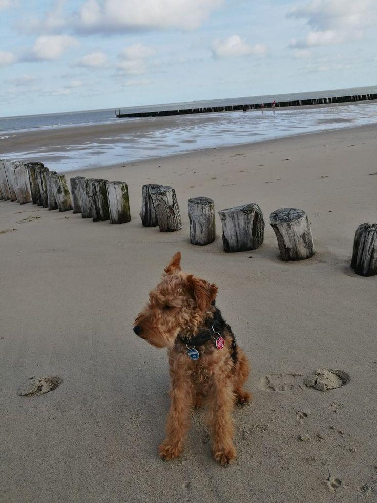 Welsh Terrier Fine in Cadzand, NL