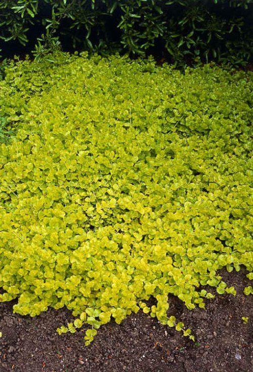 les 25 meilleures id es concernant plantes couvre sol sur pinterest couvre sols dans des zones. Black Bedroom Furniture Sets. Home Design Ideas