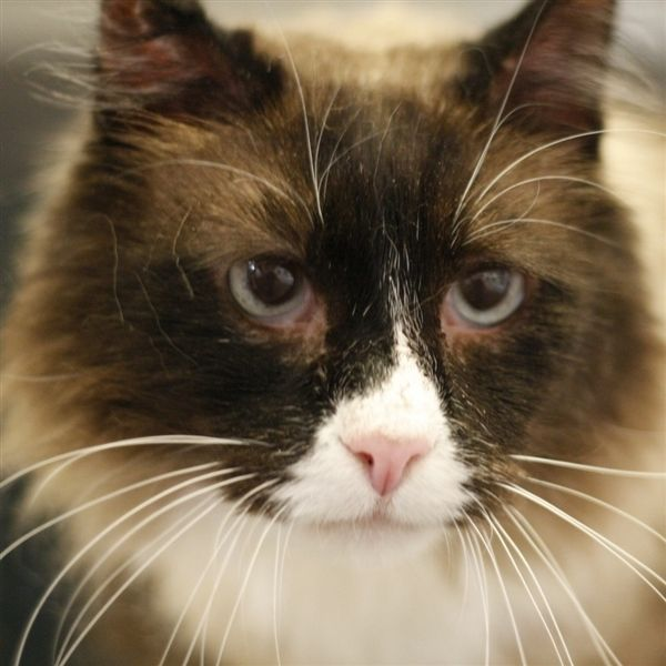Taj Malik Is An Adoptable Domestic Medium Hair Searching For A Forever Family Near Troutdale Or Use Petfinder To Find Adoptabl Pet Adoption Cat Adoption Pets