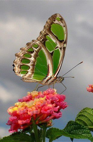 Beautiful Green Butterfly                                                                                                                                                                                 More