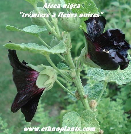 rose noire à cultiver https://www.ethnoplants.com/fr/graines-plantes-rares-extinction/158-alcea-rosea-nigra-rose-tremiere-fleurs-noires-graines.html