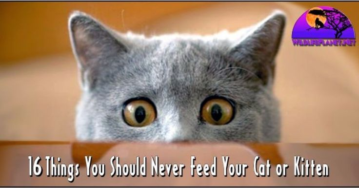 Read it here http://ift.tt/2h3Z6SF  16 Things You Should Never Feed Your Cat or Kitten  #Caturday #Cats #Kittens #Kitty #Cute #Love #Adorable #Fluffy #Mittens #Kittycat #FelineFriday #FeralFriday #Feline #Feral #cat #cats #cateyes #catgram #catsofinstagram #catstagram #catsagram #catoftheday #catlovers #catsofworld