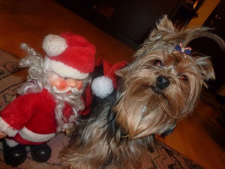 Christmas Presence , Santa Claus Is Coming To Town My funny puppy in new Christmas Costume - Too Cute!  I hope you will like video, if you do hit that Like button and don't forget to Comment and Subscribe.
