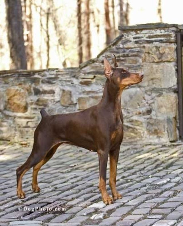 Doberman Ch Cambria S Victoria S Secret Reigny