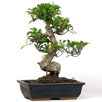 Ficus Ginseng Bonsai plants