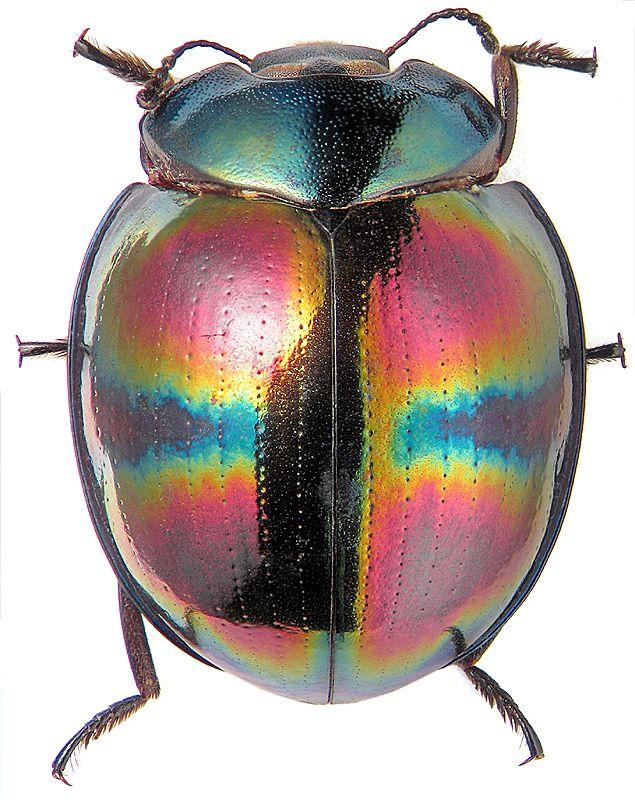 Tetraphyllus corruscus Fairm. (Tenebrionidae) by K.V. Makarov