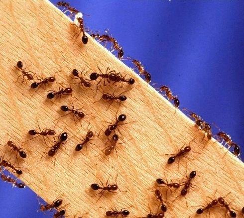 Уничтожение муравьев на дачном участке, в квартире, в доме, на даче и в саду…
