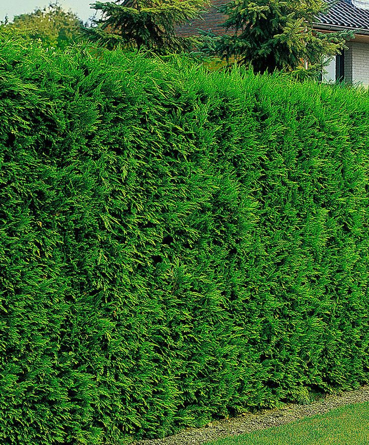 1000 images about privacy screens hedges on pinterest for Fast growing fence covering plants