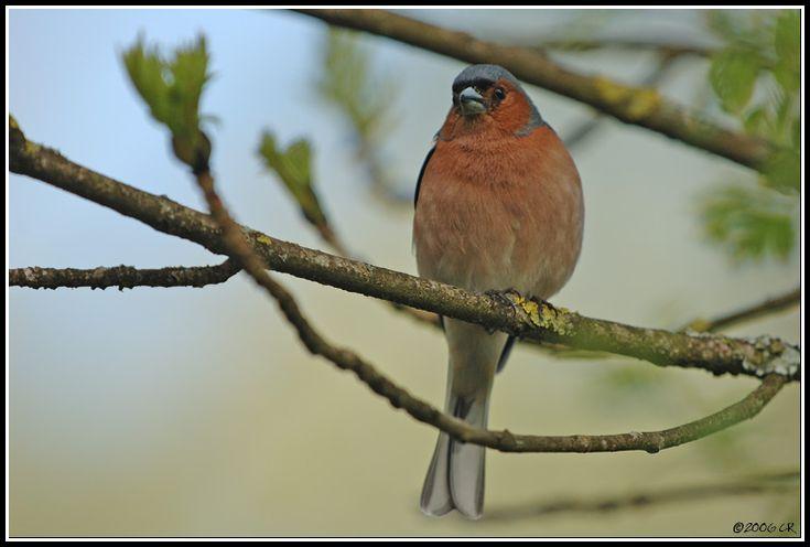 Pinson des arbres - Fringilla coelebs (Common chaffinch / Buchfink / Fringuello) 29-04-2006