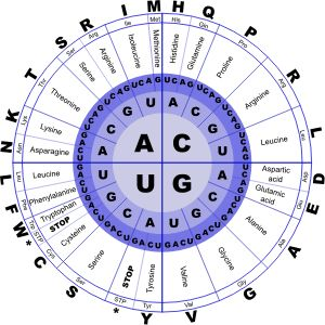Genetic Code RNA by @J_Alves, <p>The genetic code, in RNA letters (U instead of T), and containing amino acids in three representations: full name, 3-letter abbreviation, and 1-letter. Drawn in Inkscape.</p><p>How to read the genetic code: start from the center circle and go outwards. So, if the gene has an AGC, that means amino acid serine. A CGA means arginine. And three of the combinations are stop codons, which don't give any amino acid: TAA, TAG, and TGA.</p>, on @openclipart