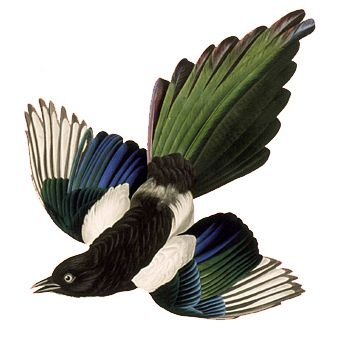 magpies circling - Google Search