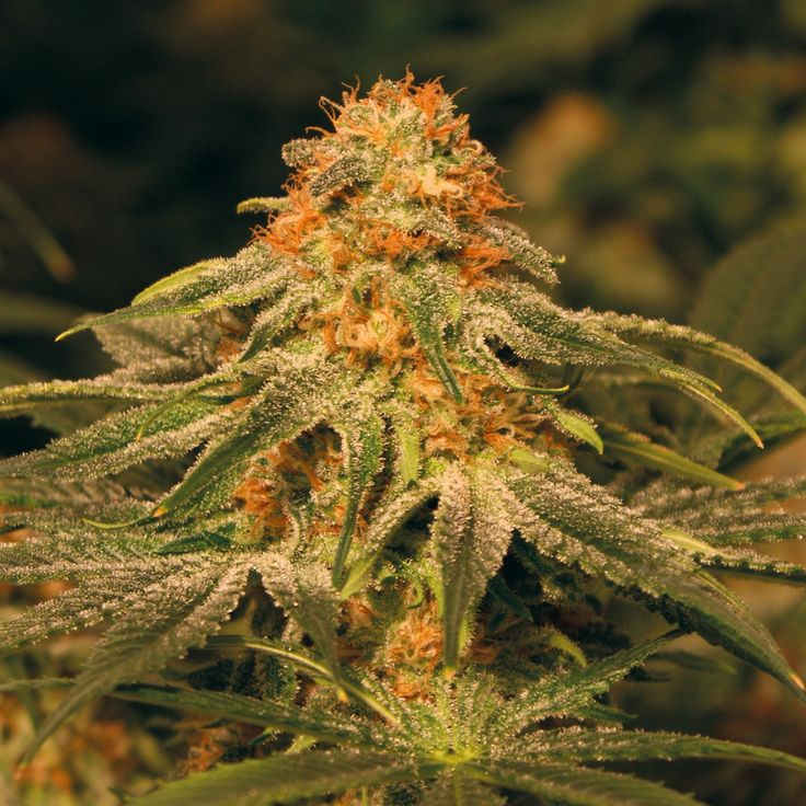 Vanilla Kush Feminised Seeds #marijuanaseeds