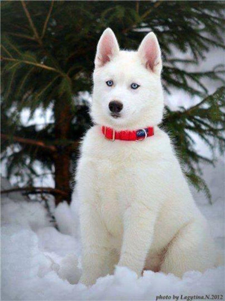 White Baby Huskies   www.pixshark.com - Images Galleries ...