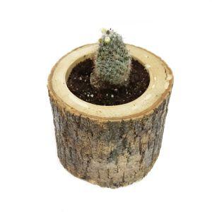 Pincushion Cactus-Kaktüs