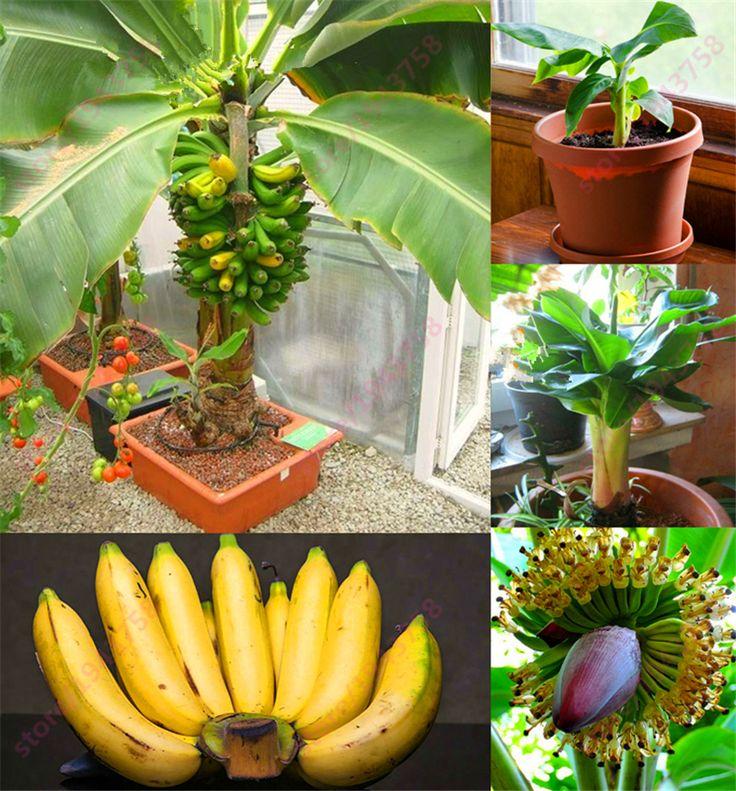 200 шт. Банан Семена, карликовые плодовые деревья, Вкус Молока, Открытый Многолетнее Фрукты Семена Для Сада растения