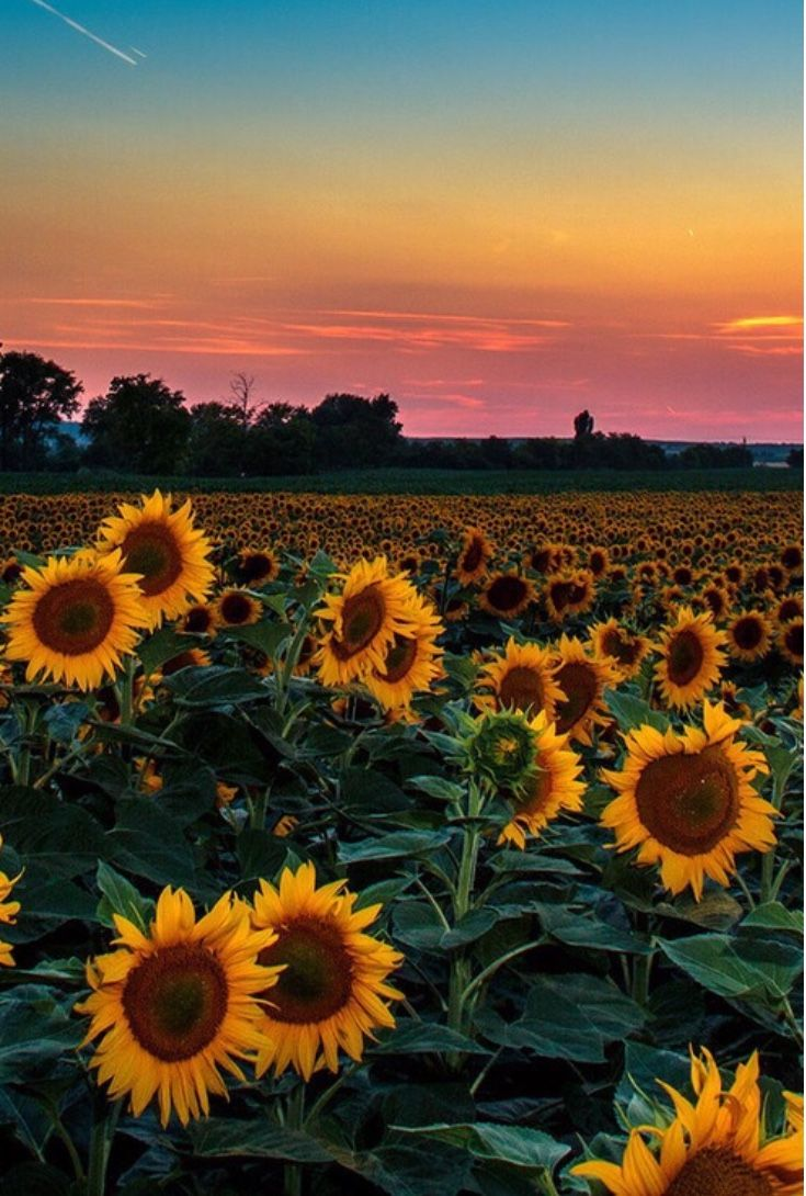 Pin By 𝖈𝖆𝖑𝖎𝖊 On Summer Sunflower Wallpaper Beautiful Nature Nature Photography