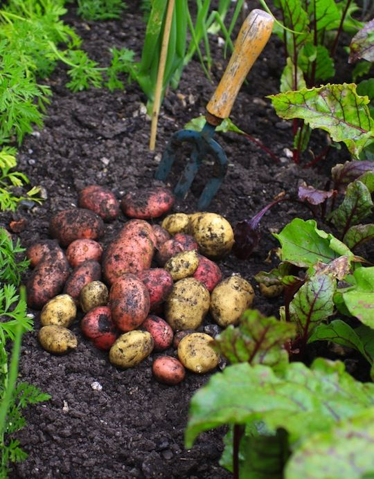 17 best images about garden potatoes on pinterest for Gardening 101 vegetables