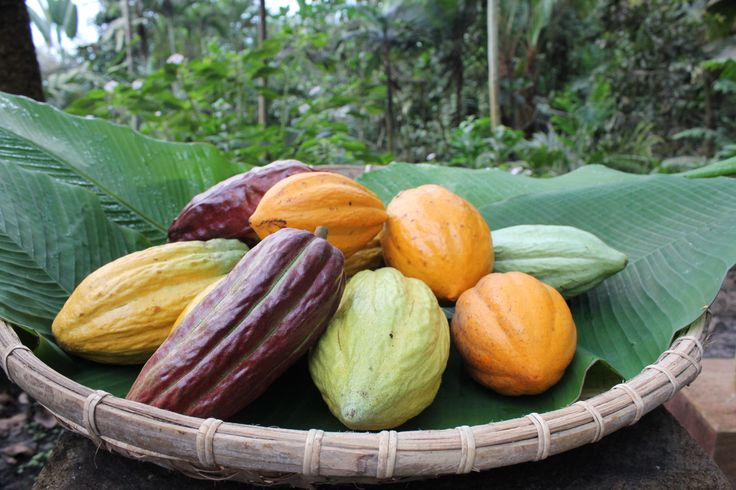 A colourful selection of cacao pods picked in our Rainforest Biome.