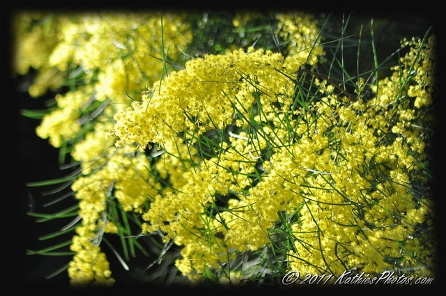 The Wattle Blossom comes out in July each year. Very colourful winter flower on a tree.