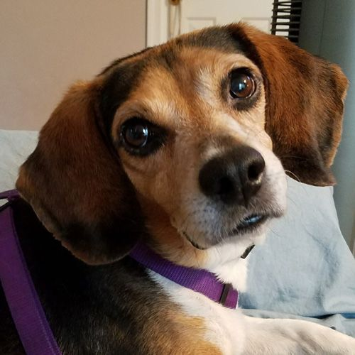 Meet Jackson *Adopt*, an adoptable Beagle looking for a forever home. If you're looking for a new pet to adopt or want information on how to get involved with adoptable pets, Petfinder.com is a great resource.