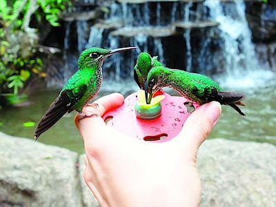 Kostarika je jednou z nejvyhlášenějších lokalit na pozorování ptáků - třeba kolibříků.