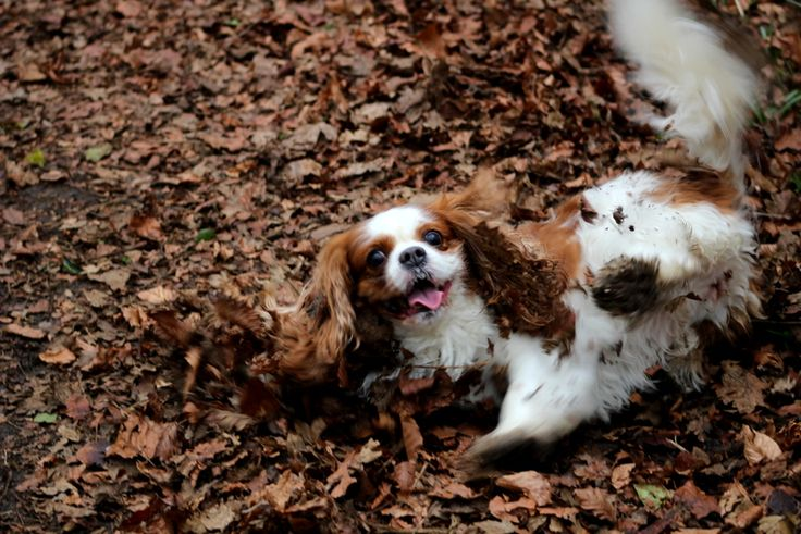 Misha rolling in the leaves