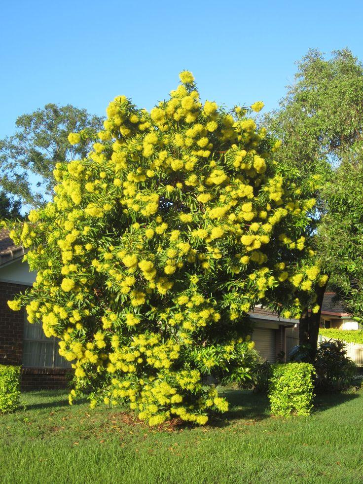 Golden Penda Tree Xanthostemon Chrysanthus Native To