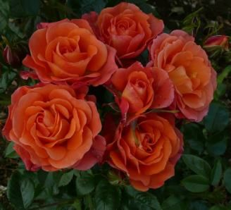 """OLD JOHN (Dicwillynilly) 1998                   £7.50  A beautiful vibrant orange-red with an upright habit and light green glossy foliage, perfectly contrasting with the blooms. Named for friend and fellow rose expert John Mattock, whom we always affectionately refer to as """"Old John"""". He's very happy with the rose, so you probably will be too!"""
