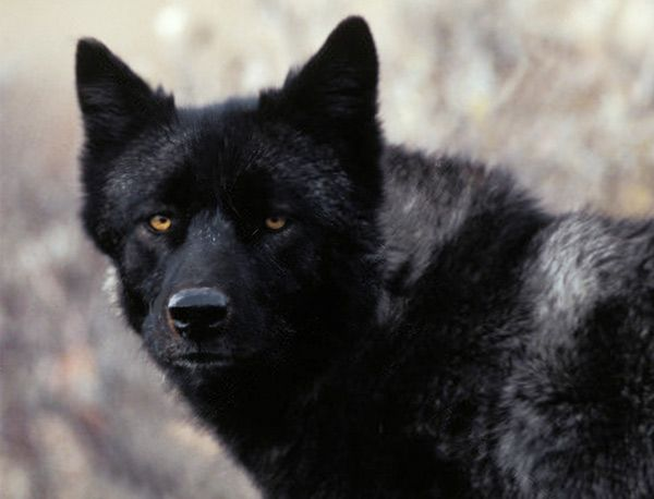 The Florida wolf or black wolf once roamed the shores and surrounding lands of the Indian River Lagoon and the state of Florida, becoming extinct in 1908. Description from jacquithurlowlippisch.com. I searched for this on bing.com/images