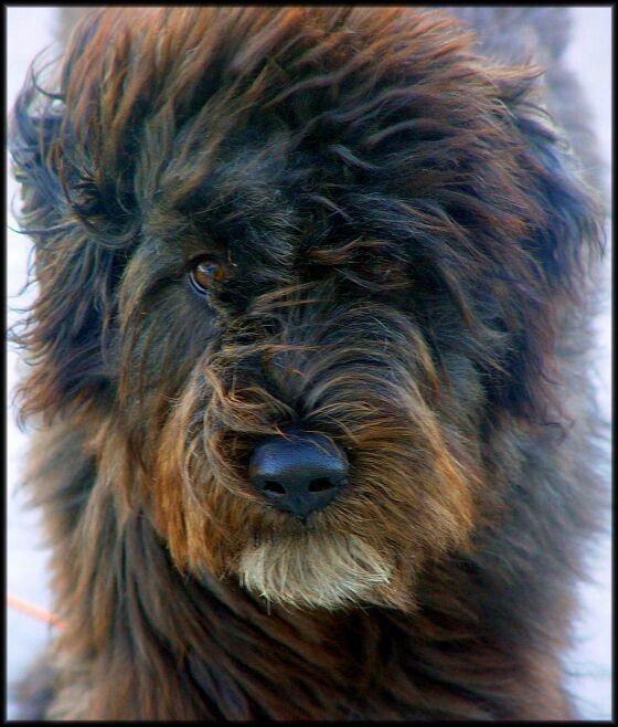 My Love... bouvier des flandres... puppy dogs