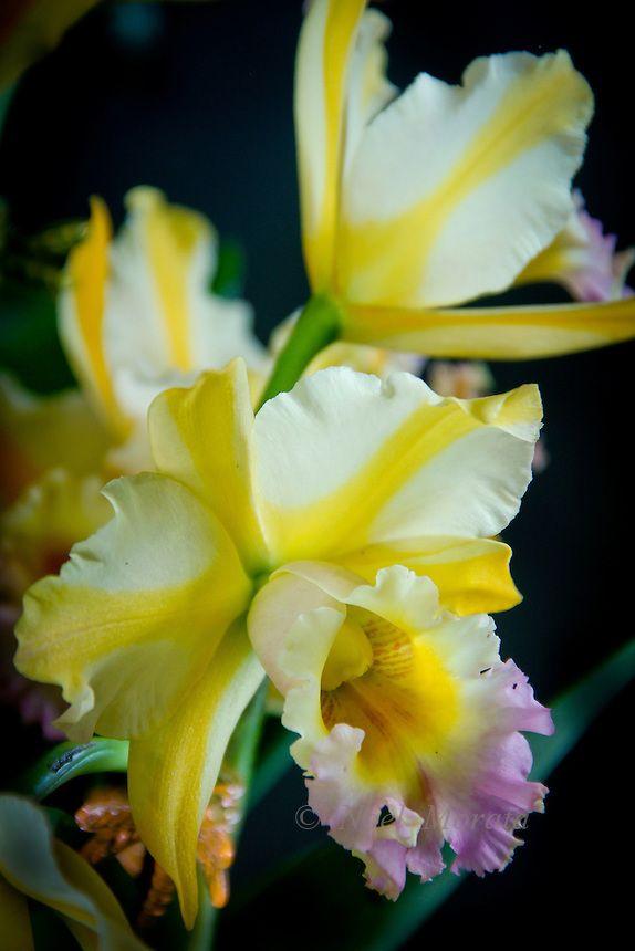 coleções de orquídeas exóticas apresentando novos híbridos, espécimes raros, combinações variadas, colorações incomuns de flores da orquídea.