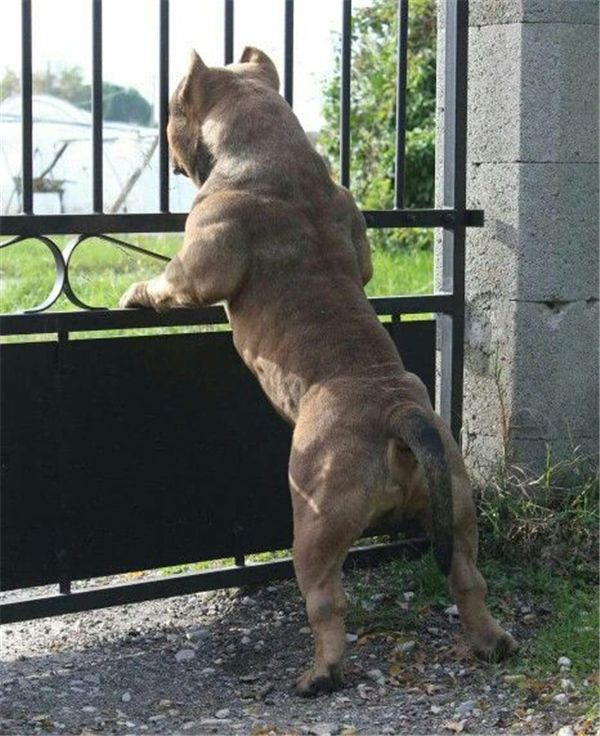 Dogs » 36 American Bully Dogs ❤️ More:    http://fallinpets.com/american-bully-dogs/