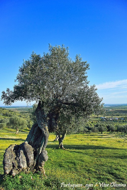 #Alentejo olive trees fields, Vidigueira - Portugal