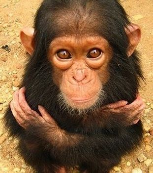 cutest baby animals ever are these baby chimps