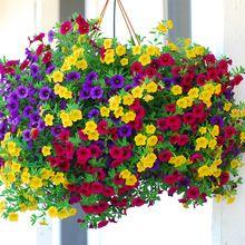 Heirloom Opknoping Petunia Gemengde Zaden (100 zaden), zeldzame verscheidenheid, hardy, zeer Mooie Tuin Bloemen Licht van Uw Tuin(China (Mainland))