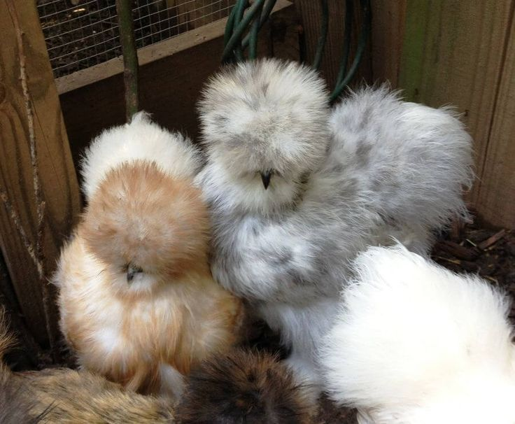 silkie chickens, silkies, silkie chickens as pets