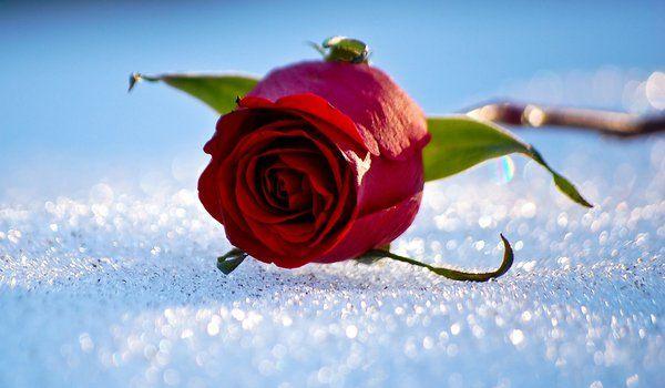 Обои на рабочий стол: зима, роза, снег