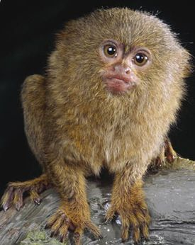 pigmy marmoset, 5 inches,(not including tail), weigh about 4 oz, they are able to jump 16 feet, a long way for a small monkey