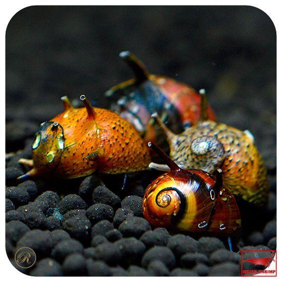 Antler vis dreifarbig Snails Aquarium #FreshwaterSnails #aquariums #freshwater aquarium