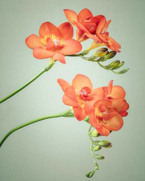 """Freesia Flower Print, Fine Art Print """"""""Freesia No. 3"""""""" One of my favorite flowers when we had our flower shop. They can be spectacular."""