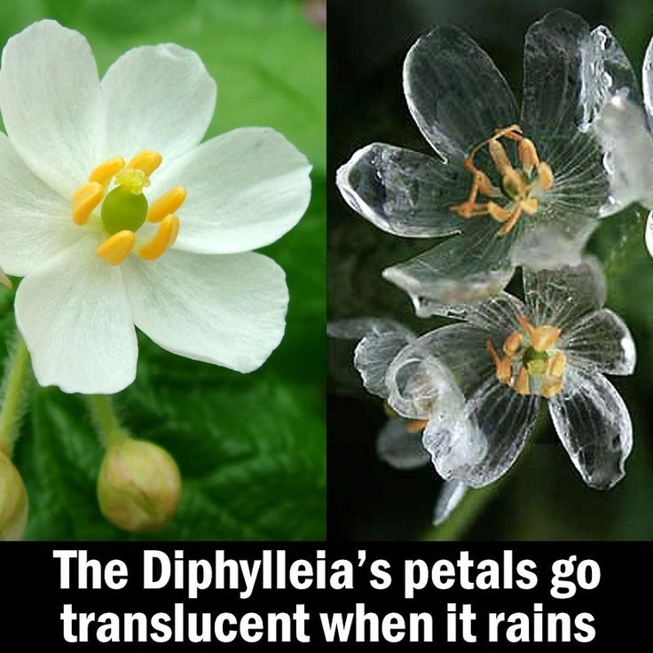 Diphylleia is know as a skeleton flower