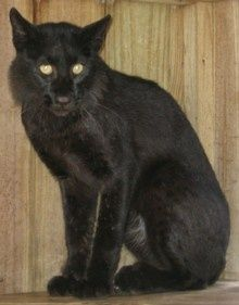 Black bobcats are rare. However, one was captured in Florida in 2007.