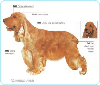 how to groom a cocker spaniel english cocker spaniel grooming tutorials pinterest 2942