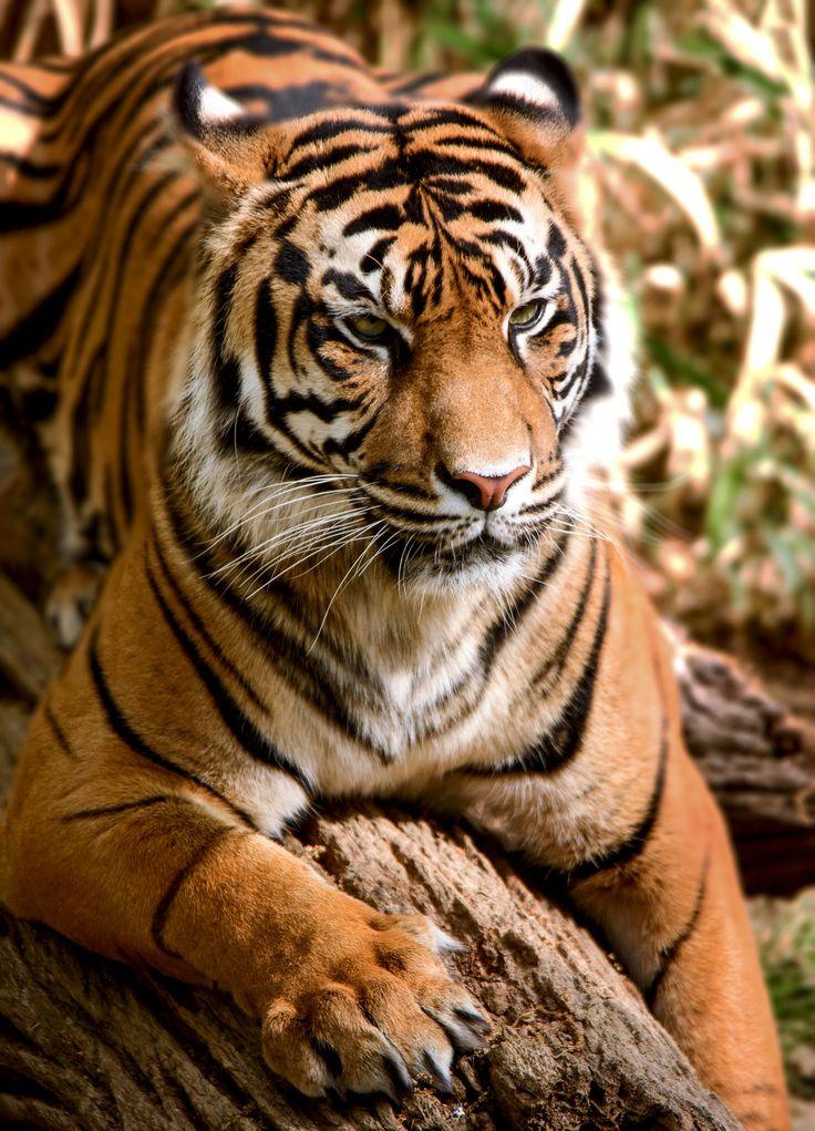 https://flic.kr/p/sB6Hmb | Tiger | A tiger at the national zoo in Washington, DC