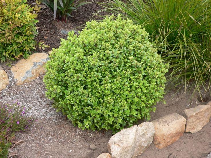 Pittosporum Golf Ball - 2.5 Litre Pot