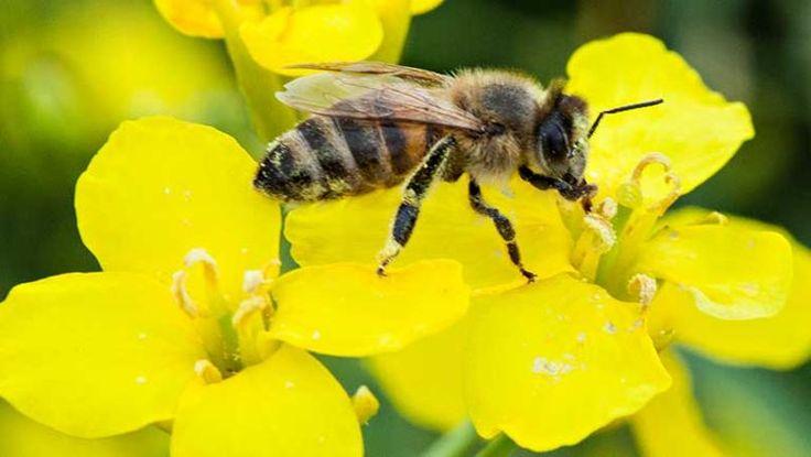 Mitfluggelegenheit.Biene auf einer Rapsblüte... Rapshonig... lecker! - Raps ist ein wahrer Überlebenskünstler: Pollen können festgeklebt am Bein einer Biene eine Strecke von 20 Kilometern überwinden, Samen zehn Jahre im Boden überdauern. Diese beeindruckenden Fähigkeiten können jedoch zur Plage werden: Nämlich dann, wenn der Raps gentechnisch verändert und seine Ausbreitung nicht mehr kontrollierbar ist. So konnte sich Gen-Raps flächendeckend in Kanada aussamen – ein gentechnikfreier…