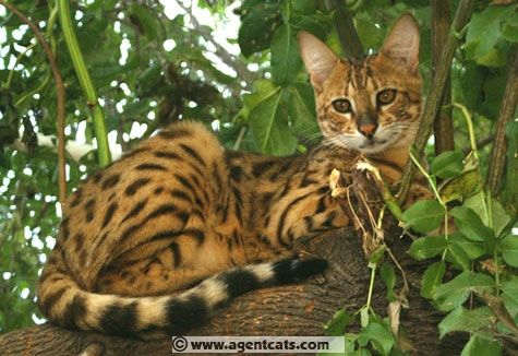 Patrick Kelley Savannah Cats For Sale and Savannah Kittens For Sale Savannah Cat Breeders Savannah Cat Kitten Breeder Guinness Book Of World Records
