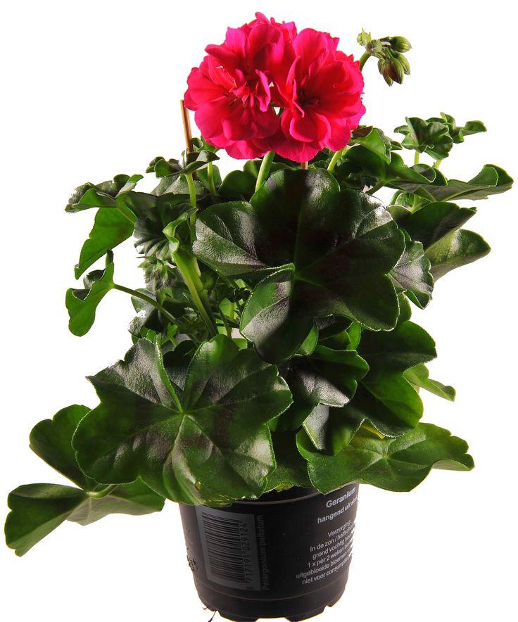 Pelargonium Peltatum rood